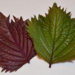 しその葉の香り成分は殺菌作用と食欲増進!大葉との違いって?