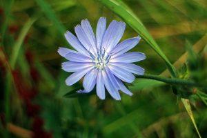 チコリー 花