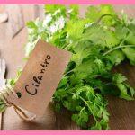 パクチーの栄養や効果は?和食にも合う簡単で人気なレシピと保存方法